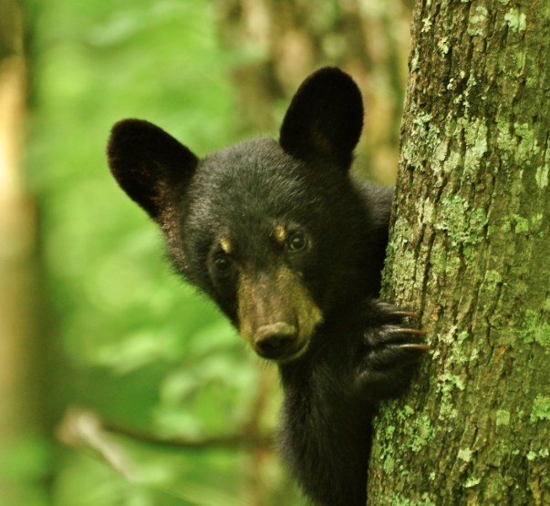 Black Bear in Harlan County (Courtesy: Dept. of Fish and Wildlife)